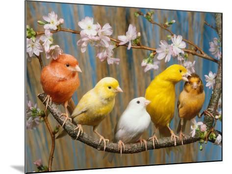 Five Canaries of Different Colours-Reinhard-Mounted Photographic Print
