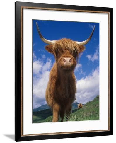 Highland Cattle Bull Portrait, Scotland, UK-Niall Benvie-Framed Art Print