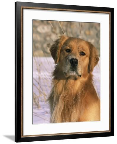 Golden Retriever in Snow (Canis Familiaris) Illinois, USA-Lynn M^ Stone-Framed Art Print