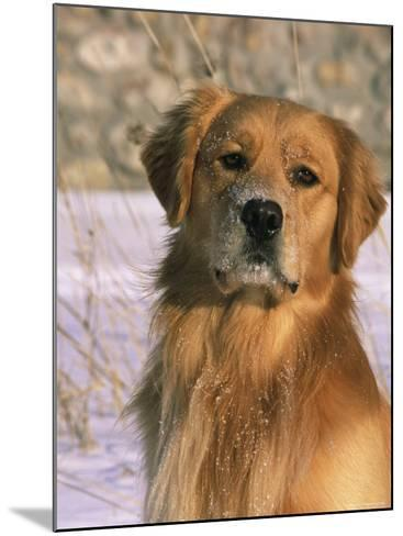 Golden Retriever in Snow (Canis Familiaris) Illinois, USA-Lynn M^ Stone-Mounted Photographic Print