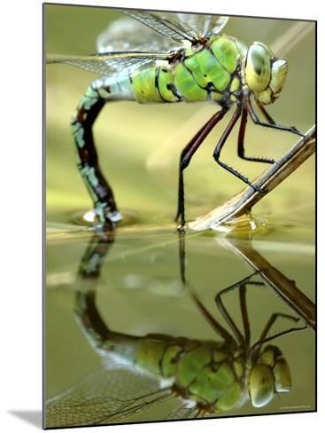 Female Emperor Dragonfly (Anax Imperator) Laying Eggs at the Edge of a Pond, Cornwall, UK-Ross Hoddinott-Mounted Photographic Print