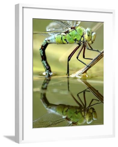 Female Emperor Dragonfly (Anax Imperator) Laying Eggs at the Edge of a Pond, Cornwall, UK-Ross Hoddinott-Framed Art Print
