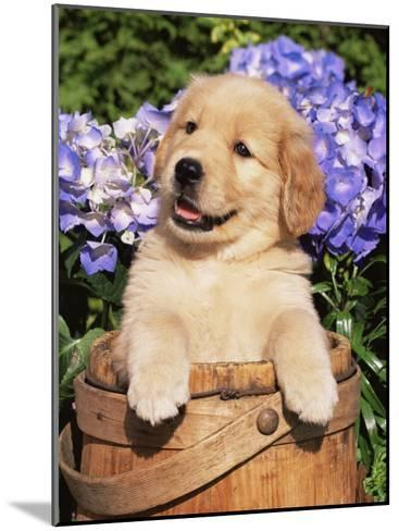 Golden Retriever Puppy in Bucket (Canis Familiaris) Illinois, USA-Lynn M^ Stone-Mounted Photographic Print