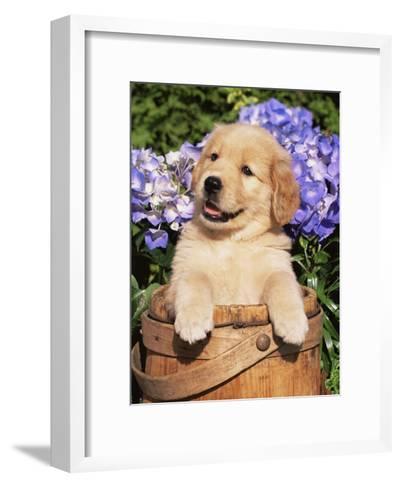 Golden Retriever Puppy in Bucket (Canis Familiaris) Illinois, USA-Lynn M^ Stone-Framed Art Print