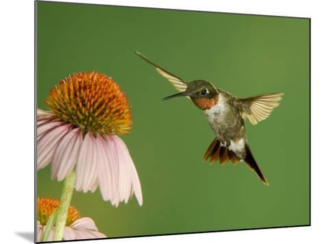 Ruby Throated Hummingbird,Male Feeding on Purple Coneflower, New Braunfels, Texas, USA-Rolf Nussbaumer-Mounted Photographic Print