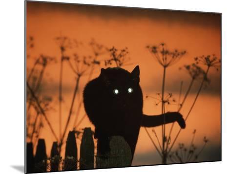 Black Domestic Cat Silhouetted Against Sunset Sky, Eyes Reflecting the Light, UK-Jane Burton-Mounted Photographic Print