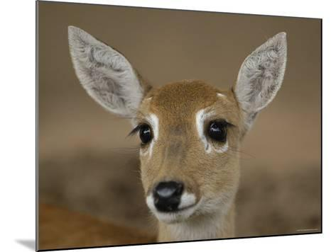 Pampas Deer, Fawn (Ozotoceros Bezoarticus) Serra Da Bodoquena, Mato Grosso Do Sur Province-Pete Oxford-Mounted Photographic Print
