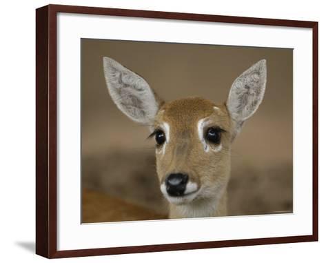 Pampas Deer, Fawn (Ozotoceros Bezoarticus) Serra Da Bodoquena, Mato Grosso Do Sur Province-Pete Oxford-Framed Art Print