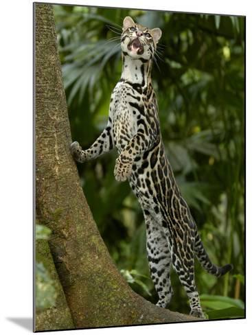 Ocelot (Felis / Leopardus Pardalis) Amazon Rainforest, Ecuador-Pete Oxford-Mounted Photographic Print