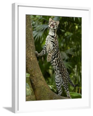 Ocelot (Felis / Leopardus Pardalis) Amazon Rainforest, Ecuador-Pete Oxford-Framed Art Print