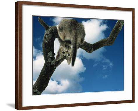 Domestic Cat, Kitten Looking Down from Branch-Jane Burton-Framed Art Print