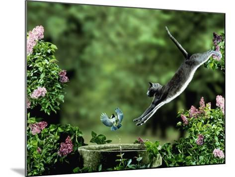 Domestic Cat Leaping at Coal Tit on Bird Bath-Jane Burton-Mounted Photographic Print