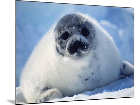 Harp Seal Pup on Ice at Start of Moult, Magdalen Is, Canada, Atlantic-Jurgen Freund-Mounted Photographic Print