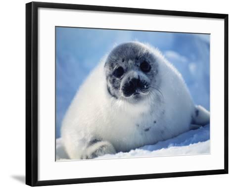 Harp Seal Pup on Ice at Start of Moult, Magdalen Is, Canada, Atlantic-Jurgen Freund-Framed Art Print