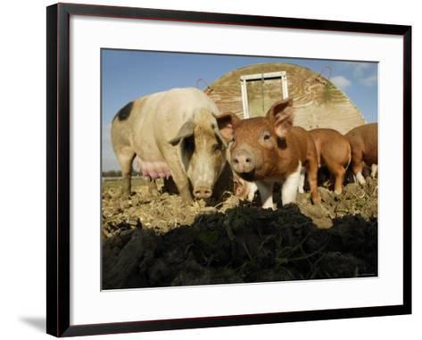 Free Range Organic Pig Sow with Piglets, Wiltshire, UK-T^j^ Rich-Framed Art Print
