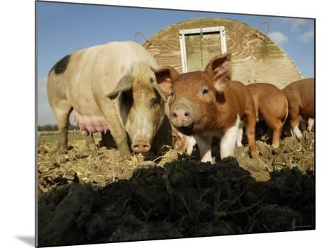 Free Range Organic Pig Sow with Piglets, Wiltshire, UK-T^j^ Rich-Mounted Photographic Print