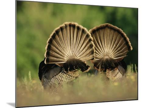 Rear View of Male Wild Turkey Tail Feathers During Display, Texas, USA-Rolf Nussbaumer-Mounted Photographic Print