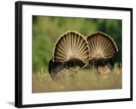 Rear View of Male Wild Turkey Tail Feathers During Display, Texas, USA-Rolf Nussbaumer-Framed Art Print
