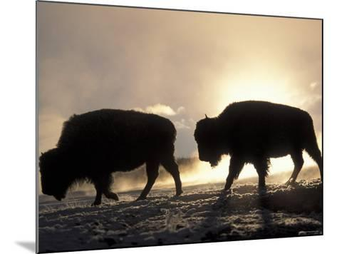 Two Bison Silhouetted Against Rising Sun, Yellowstone National Park, Wyoming, USA-Pete Cairns-Mounted Photographic Print