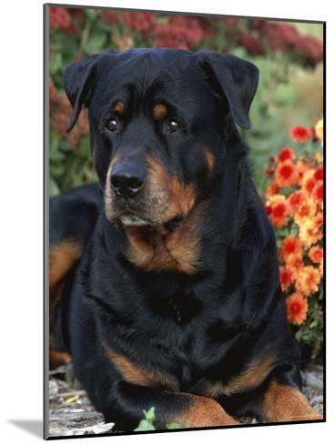 Rottweiler Dog Portrait, Illinois, USA-Lynn M^ Stone-Mounted Photographic Print