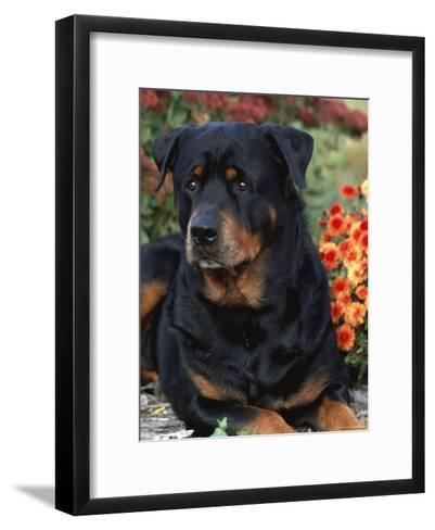 Rottweiler Dog Portrait, Illinois, USA-Lynn M^ Stone-Framed Art Print