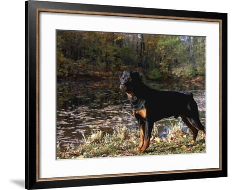 Rottweiler Dog, Illinois, USA-Lynn M^ Stone-Framed Art Print