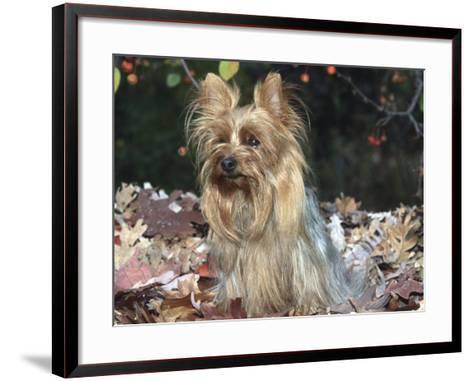 Yorkshire Terrier Dog, Illinois, USA-Lynn M^ Stone-Framed Art Print
