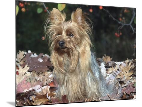 Yorkshire Terrier Dog, Illinois, USA-Lynn M^ Stone-Mounted Photographic Print