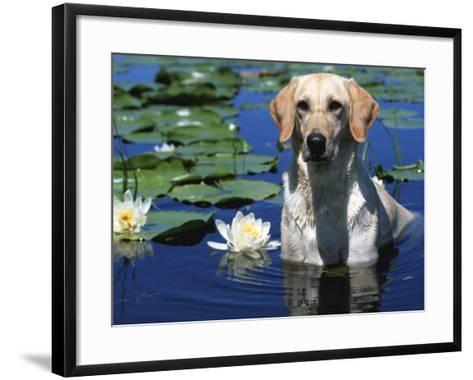 Labrador Retriever Dog in Lake, Illinois, USA-Lynn M^ Stone-Framed Art Print