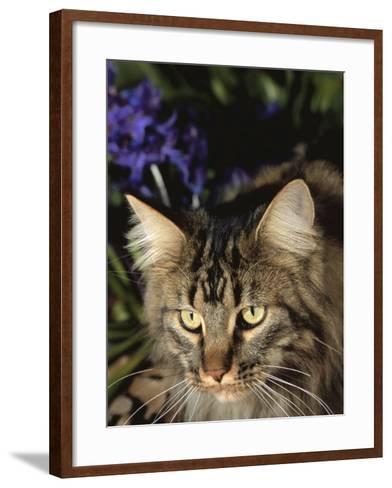 Maine Coon Domestic Cat, USA-Lynn M^ Stone-Framed Art Print