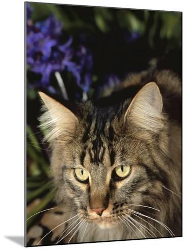 Maine Coon Domestic Cat, USA-Lynn M^ Stone-Mounted Photographic Print