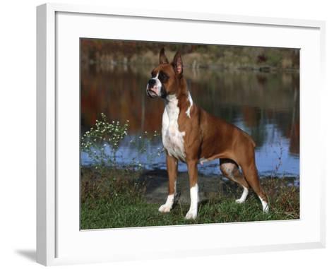 Boxer Dog, Illinois, USA-Lynn M^ Stone-Framed Art Print