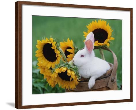 New Zealand Rabbit in Basket with Sunflowers, USA-Lynn M^ Stone-Framed Art Print