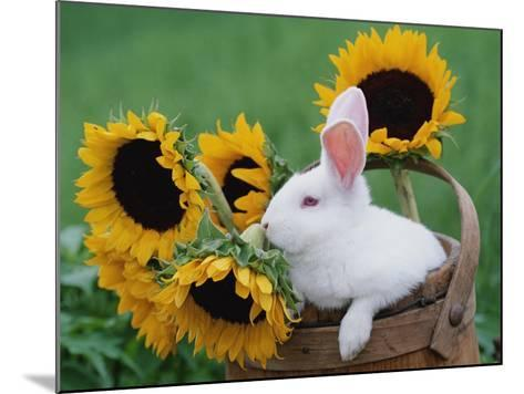New Zealand Rabbit in Basket with Sunflowers, USA-Lynn M^ Stone-Mounted Photographic Print