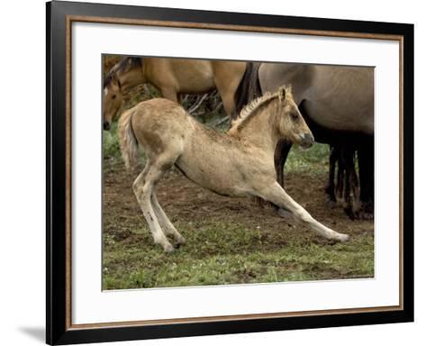 Mustang / Wild Horse Filly Stretching, Montana, USA Pryor Mountains Hma-Carol Walker-Framed Art Print