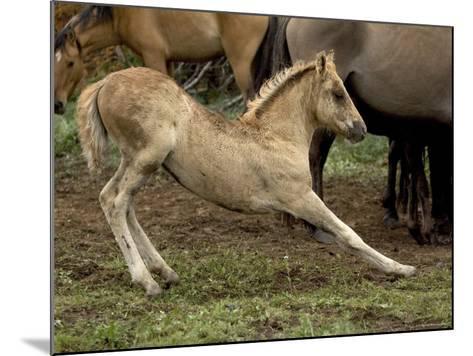 Mustang / Wild Horse Filly Stretching, Montana, USA Pryor Mountains Hma-Carol Walker-Mounted Photographic Print