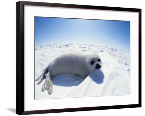 Harp Seal Pup on Ice, Magdalen Is, Canada, Atlantic-Jurgen Freund-Framed Art Print