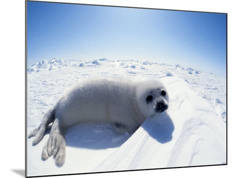 Harp Seal Pup on Ice, Magdalen Is, Canada, Atlantic-Jurgen Freund-Mounted Photographic Print