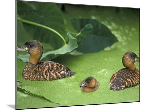 White Backed Ducks with Chick, Belgium, Native to Africa-Philippe Clement-Mounted Photographic Print