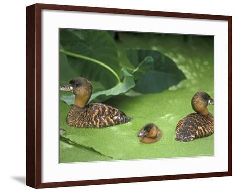 White Backed Ducks with Chick, Belgium, Native to Africa-Philippe Clement-Framed Art Print