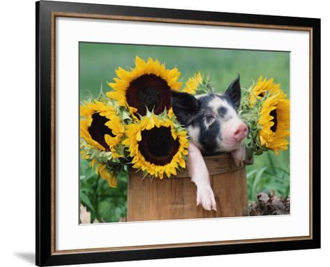 Mixed-Breed Piglet in Basket with Sunflowers, USA-Lynn M^ Stone-Framed Art Print