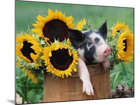 Mixed-Breed Piglet in Basket with Sunflowers, USA-Lynn M^ Stone-Mounted Photographic Print