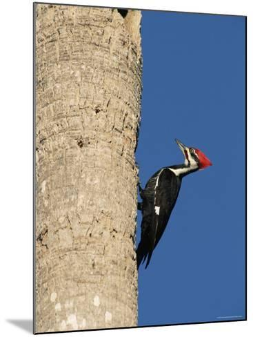 Pileated Woodpecker, Female at Nest Hole in Palm Tree, Fl, USA-Rolf Nussbaumer-Mounted Photographic Print
