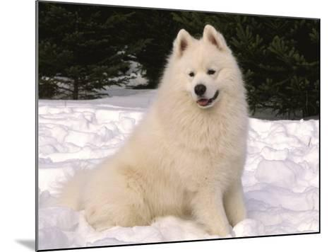 Samoyed Dog in Snow, USA-Lynn M^ Stone-Mounted Photographic Print