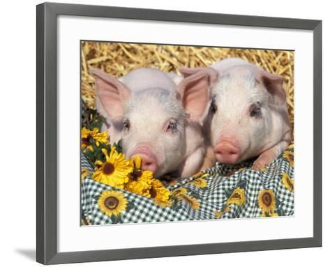 Two Domestic Piglets, Mixed-Breed-Lynn M^ Stone-Framed Art Print