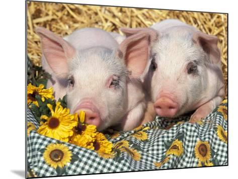 Two Domestic Piglets, Mixed-Breed-Lynn M^ Stone-Mounted Photographic Print