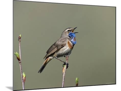 Bluethroat, Male Singing, Switzerland-Rolf Nussbaumer-Mounted Photographic Print