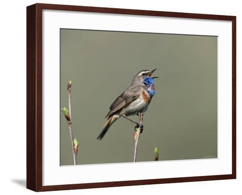 Bluethroat, Male Singing, Switzerland-Rolf Nussbaumer-Framed Art Print