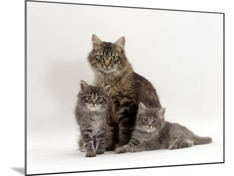 Domestic Cat, Fluffy Tabby with Her Two Kittens-Jane Burton-Mounted Photographic Print