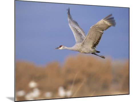 Sandhill Crane in Flight, Bosque Del Apache National Park, NM, USA-Rolf Nussbaumer-Mounted Photographic Print